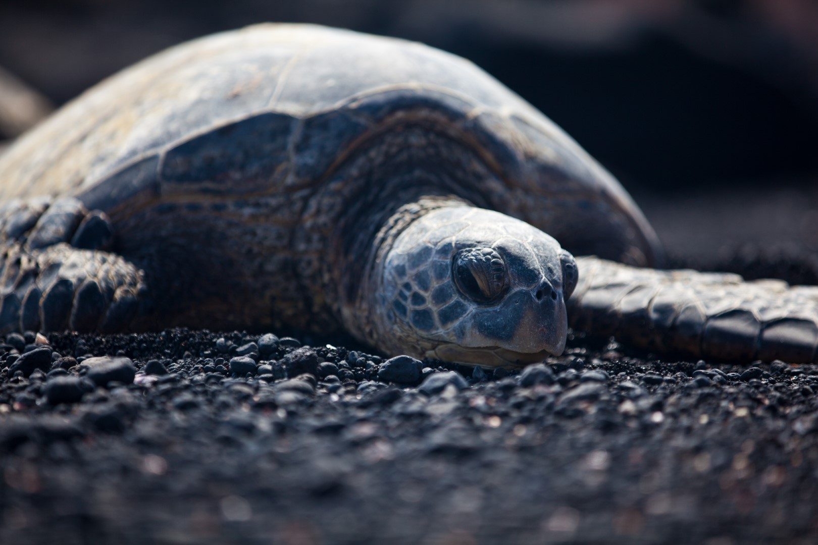 Honu on black sand beach